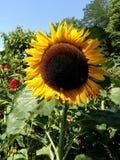 Härlig solros på sommar royaltyfri bild