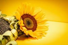 Härlig solrosblomma på en gul bakgrund Arkivfoton
