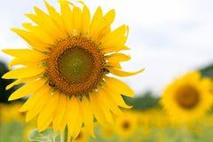 Härlig solrosblomning i lantgård Arkivfoton