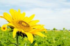 Härlig solroscloseup på fält för en bakgrund Arkivfoto