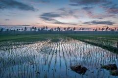 Härlig soluppgång med risfält Arkivbild