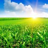 Härlig soluppgång på cornfield royaltyfri fotografi