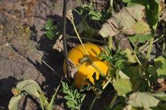 Härlig sommar som växer den gula färgvattenmelon Arkivbilder