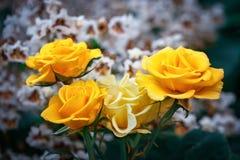 Härlig sommarträdgård med blommande rosor Royaltyfri Fotografi