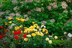 Härlig sommarträdgård med blommande rosor Royaltyfria Bilder