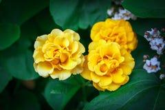 Härlig sommarträdgård med blommande rosor Arkivbild
