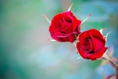 Härlig sommarträdgård med blommande rosor Royaltyfri Bild
