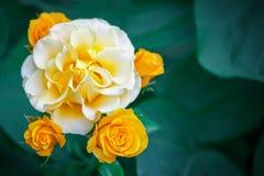 Härlig sommarträdgård med blommande rosor Arkivfoto