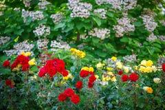 Härlig sommarträdgård med blommande rosor Arkivbilder