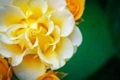 Härlig sommarträdgård med blommande rosor Royaltyfria Foton