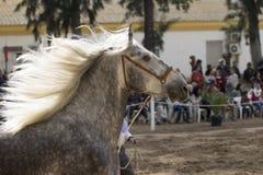 Härlig spansk häst med mannen i vinden fotografering för bildbyråer