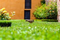 Härlig sparv överst av en grön fluffig buske i en trädgård arkivfoton