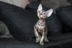 Härlig sphynxkattunge som inomhus poserar på en soffa Royaltyfri Fotografi