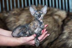 härlig sphynxkattunge som poserar i händer för ägare` s Arkivfoto
