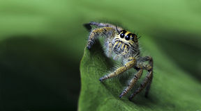 Härlig spindel på det gröna bladet som hoppar spindeln i Thailand Fotografering för Bildbyråer