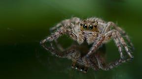 Härlig spindel på exponeringsglas som hoppar spindeln i Thailand royaltyfri fotografi