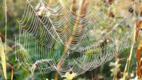 Härlig spindelnät som dekoreras med droppar av dagg som svänger i vinden i ottan Naturlig bakgrund lager videofilmer