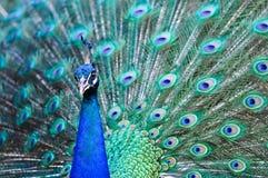 Härlig spread av en påfågel Fotografering för Bildbyråer