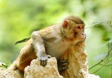 Härlig stående av den Rehsus macaquen Arkivfoto