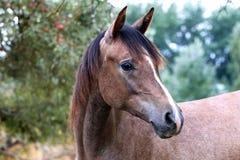 Härlig stående av en fullblods- arabisk häst Royaltyfria Foton