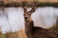 Härlig stående av en hjort som fritt strövar omkring i parkera arkivfoto