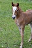 Härlig stående av en liten röd häst Royaltyfri Foto