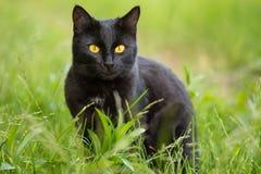 Härlig stående bombay för svart katt med gulingögon och uppmärksam blick i grönt gräs i natur royaltyfri foto