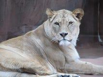 Härlig, stark behagfull lejoninna som går i en zoo bak ett tjockt skyddande exponeringsglas Royaltyfri Fotografi