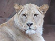 Härlig, stark behagfull lejoninna som går i en zoo bak ett tjockt skyddande exponeringsglas Royaltyfri Foto