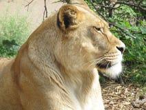 Härlig, stark behagfull lejoninna som går i en zoo bak ett tjockt skyddande exponeringsglas Arkivbilder