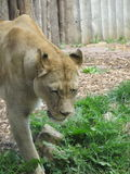 Härlig, stark behagfull lejoninna som går i en zoo bak ett tjockt skyddande exponeringsglas Arkivfoto