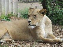 Härlig, stark behagfull lejoninna som går i en zoo bak ett tjockt skyddande exponeringsglas Arkivfoton