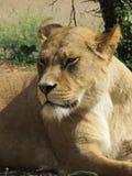 Härlig, stark behagfull lejoninna som går i en zoo bak ett tjockt skyddande exponeringsglas Royaltyfria Bilder
