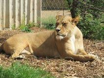 Härlig, stark behagfull lejoninna som går i en zoo bak ett tjockt skyddande exponeringsglas Royaltyfria Foton