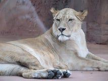 Härlig, stark behagfull lejoninna som går i en zoo bak ett tjockt skyddande exponeringsglas Royaltyfri Bild