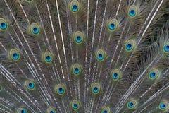 härlig stor bluepåfågel för fågel 3 Arkivfoto