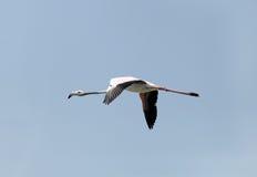 Härlig stor flamingo som matar under lågvatten Fotografering för Bildbyråer
