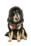 Härlig stor hund för tibetan mastiff royaltyfri bild