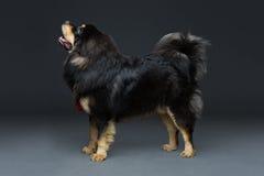 Härlig stor hund för tibetan mastiff arkivbild