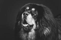 Härlig stor hund för tibetan mastiff royaltyfri foto
