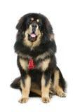 Härlig stor hund för tibetan mastiff royaltyfria bilder