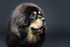 Härlig stor hund för tibetan mastiff arkivfoto