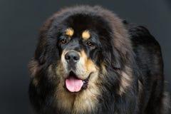 Härlig stor hund för tibetan mastiff arkivbilder