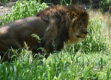 Härlig stor katt i högväxt grönt gräs med en tjock man Royaltyfri Bild