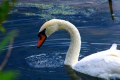 Härlig stum svan på en blå sjö med vegetation royaltyfria foton