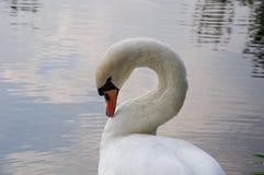 härlig stum swan Royaltyfria Bilder