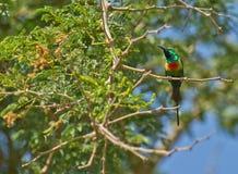 härlig sunbird Royaltyfri Fotografi