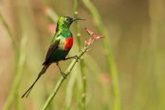 härlig sunbird Fotografering för Bildbyråer