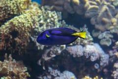 Härlig Surgeonfish, Paracanthurus Hepatus inom akvariet Royaltyfri Fotografi