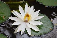 Härlig sväva vit lotusblomma tilldrar ett kryp arkivfoton